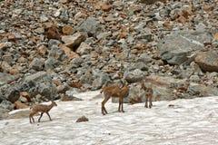 Une famille de chamois en parc national d'Ecrins image libre de droits