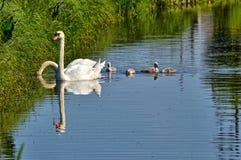 Une famille de cygne dans l'eau Photographie stock libre de droits