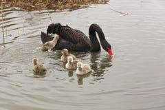 Une famille de cygne noir Photographie stock