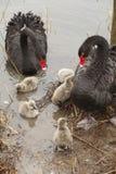 Une famille de cygne noir Photo stock