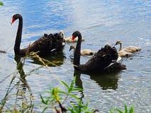 Une famille de cygne swiimming dans un lac Image stock