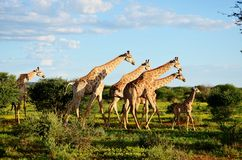 Une famille de girafe Images stock
