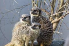Une famille de Meercats Photos libres de droits
