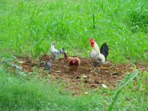 Une famille de poule images libres de droits