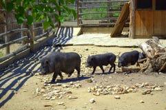 Une famille de promenade de porcs Photo libre de droits