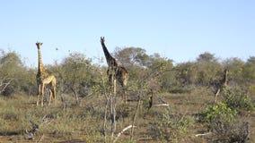 Une famille de trois girafes banque de vidéos