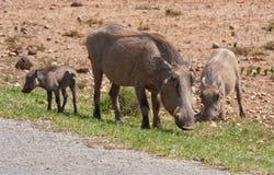 Une famille de warthog en stationnement de safari d'Addo Photo libre de droits