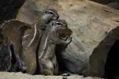 Une famille des écureuils moulus se cachant derrière un grand vieil arbre images stock