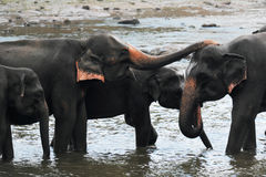 Une famille des éléphants lave en rivière Un petit éléphant avec un tronc nettoie un autre éléphant La rivière est sur Sri Lanka Photo libre de droits