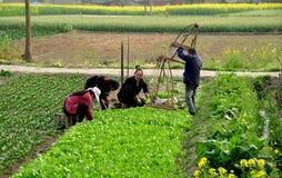 Pengzhou, Chine : Agriculteurs plantant des jeunes plantes Image libre de droits