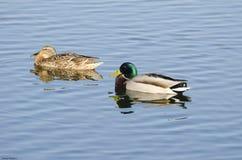 Une famille des canards Photos stock