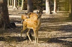 Une famille des cerfs communs Image stock