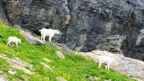 Une famille des chèvres de montagne chargent à glacier le parc national Image libre de droits