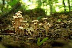 Une famille des champignons avec les chapeaux beiges Photographie stock