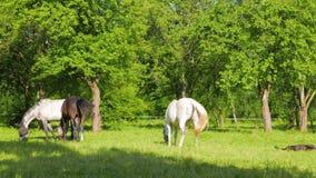 Une famille des chevaux banque de vidéos