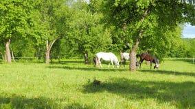 Une famille des chevaux frôlent dans le champ de pommiers banque de vidéos