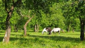 Une famille des chevaux frôlent dans le champ de pommiers clips vidéos