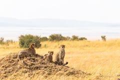 Une famille des guépards du masai Mara sur une colline Le Kenya, Afrique images libres de droits