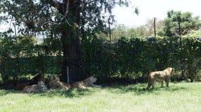 Une famille des lions avec petits animaux dans un environnement naturel Image stock