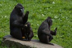 Une famille des macaques noirs Photographie stock