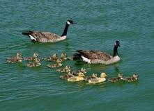 Une famille des oies du Canada Photos libres de droits
