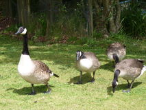 Une famille des oies du Canada Photo libre de droits