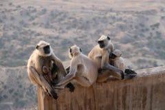 Une famille des singes de visages noirs, Inde photographie stock