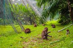 Une famille des singes errant pour la nourriture image libre de droits