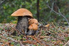 Une famille du scaber trois rouge-couvert mignon égrappe l'aurantiacum de Leccinum dans le pin que les aiguilles se ferment  Cham photos libres de droits