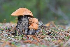 Une famille du scaber trois rouge-couvert mignon égrappe l'aurantiacum de Leccinum dans le pin que les aiguilles se ferment  Cham images stock