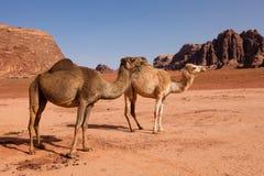 Une famille sauvage de chameau dans le désert Images libres de droits