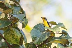 Une femelle de l'écarlate Minivet étant perché sur une branche Photos libres de droits