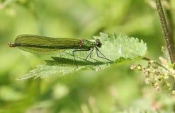 Une femelle a réuni des splendens de Calopteryx de Demoiselle étés perché sur une feuille d'ortie cuisante Photo libre de droits