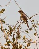 Une femelle Rouge-desserrée de Shrike Photo stock