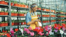 Une femme arrose des fleurs de cyclamen, utilisant la bouteille de pulvérisation banque de vidéos