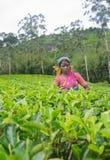 Une femme de tamil du Sri Lanka casse des feuilles de thé Photos stock