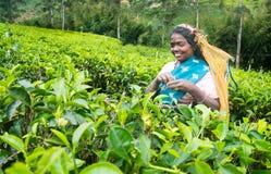 Une femme de tamil du Sri Lanka casse des feuilles de thé Image stock