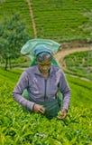 Une femme de tamil du Sri Lanka casse des feuilles de thé Photographie stock libre de droits