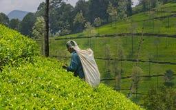 Une femme de tamil du Sri Lanka casse des feuilles de thé Images libres de droits