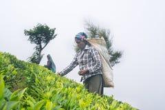 Une femme de tamil du Sri Lanka casse des feuilles de thé Photos libres de droits