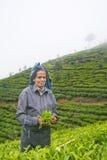 Une femme de tamil du Sri Lanka casse des feuilles de thé Photo libre de droits