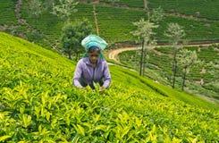 Une femme de tamil du Sri Lanka casse des feuilles de thé Image libre de droits
