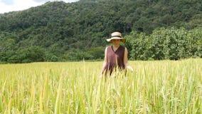 Une femme marche par un champ accidenté d'or entouré par des montagnes en Thaïlande du nord banque de vidéos