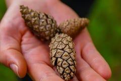 Une femme tenant quelques cônes de pin à la forêt images stock