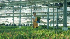 Une femme travaille en serre chaude, portant des tulipes dans des mains clips vidéos