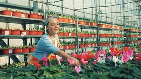 Une femme vérifie le cyclamen dans des pots et des eaux ils, travaillant dans une serre banque de vidéos