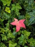 Une feuille d'érable colorée par rouge pendant la chute Photos libres de droits