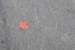 Une feuille d'érable Rouge-orange tombée contre Gray Concrete Backgroun Image libre de droits