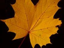 Une feuille d'arbre de sycomore Photographie stock