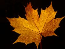 Une feuille d'arbre de sycomore Photo stock
